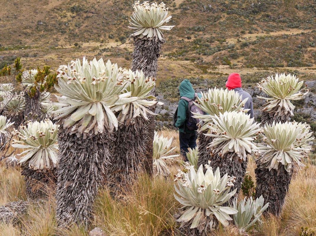 Fabelhafte Frailejones, viele Jahre alt... páramo de Ocetá, bei Mongui, Kolumbien (Foto Jörg Schwarz)