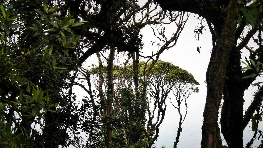 Blick aus dem Mossy Forest in die Weite - leider vergebens: Dichte Wolken verhängen den Blick, Cameron Highlands, Malaysia (Foto Jörg Schwarz)