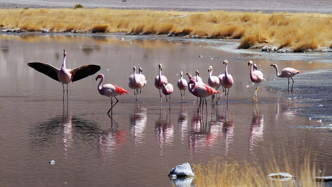 Nein - an diesen Vögeln können wir uns nicht sattsehen... Reserva de Fauna Andina, Bolivien (Foto Jörg Schwarz)