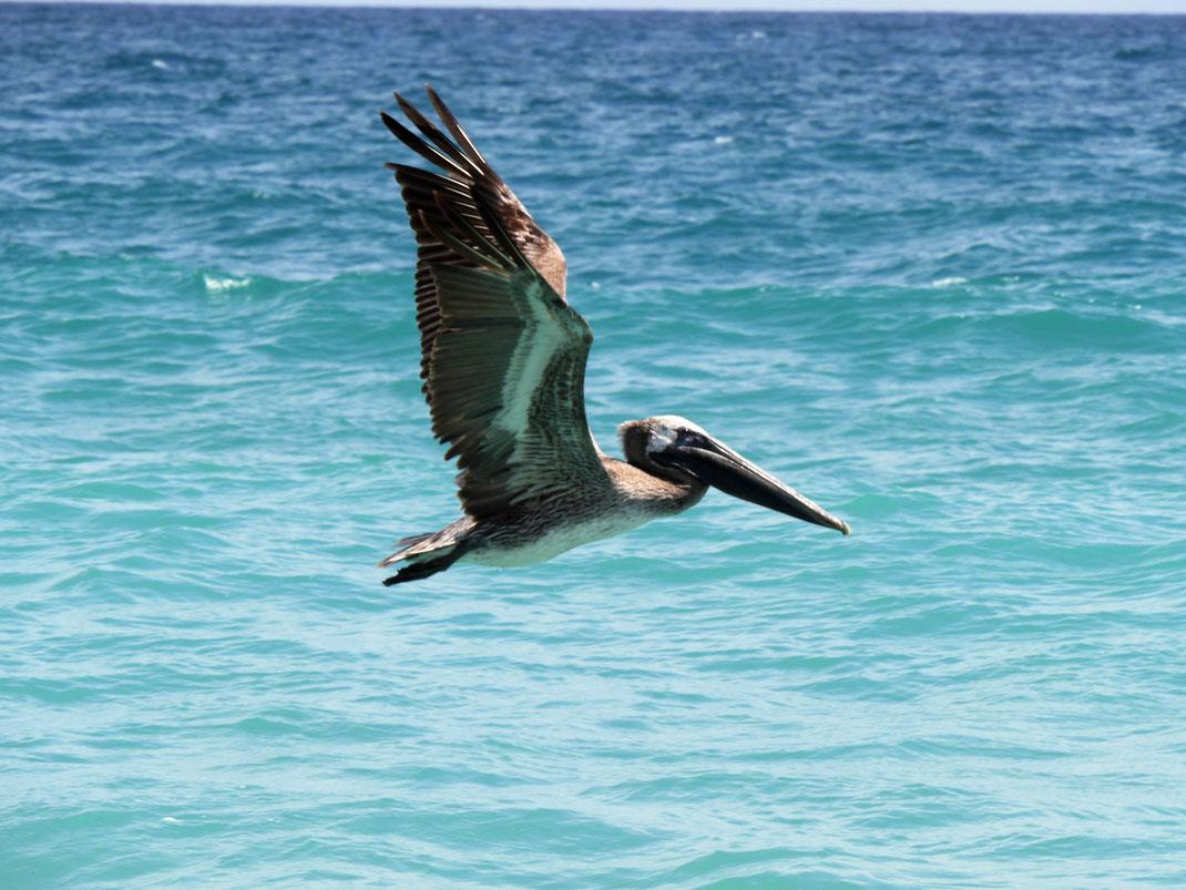 Immer wieder Pelikane... Playa Los Angeles, Kolumbien (Foto Jörg Schwarz)