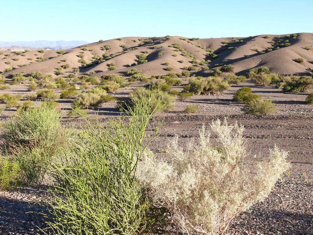 Die typisch rare Halbwüstenvegetation hat ihren Reiz, Barreal, Argentinien (Foto Jörg Schwarz)