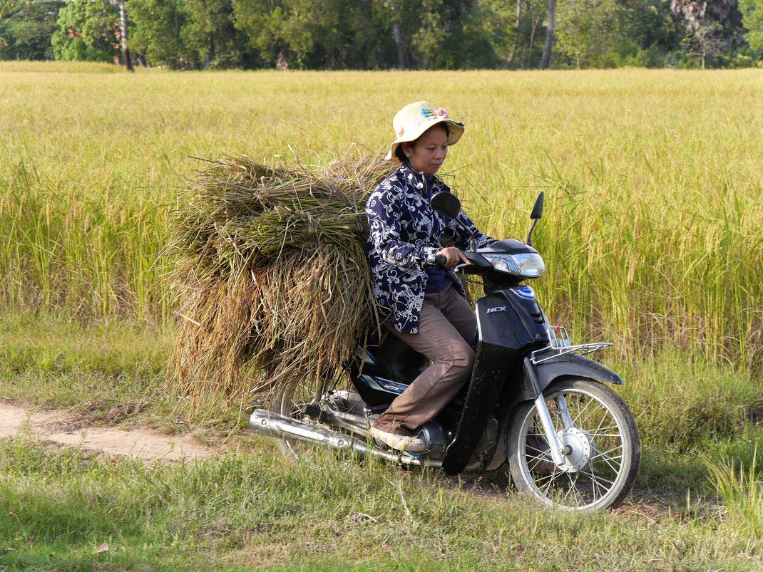 Die Reisernte ist hier noch nicht der maschinenintensiven Landwirtschaft zuzurechnen, bei Takeo, Kambodscha (Foto Jörg Schwarz)