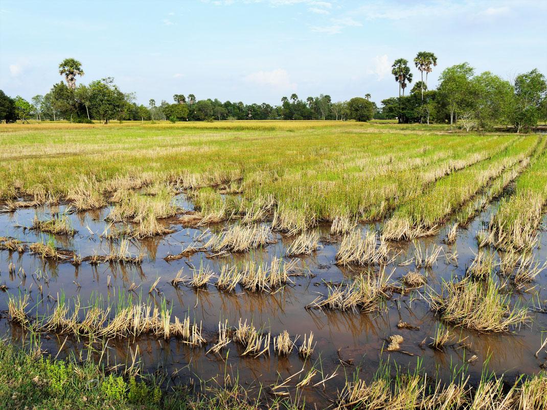 Ein bereits abgeerntetes Reisfeld in wunderschöner Lage... Bei Takeo, Kambodscha (Foto Jörg Schwarz)