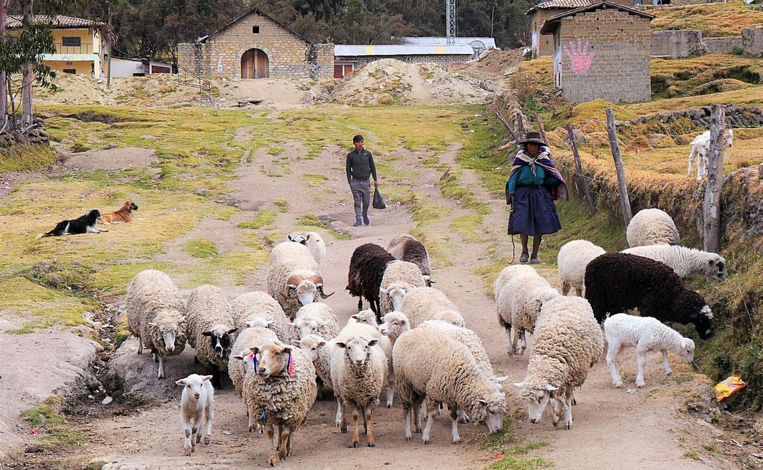 Eine Bäuerin führt ihre Schafe durch das Dorf, bei Uchkus Incañan, Peru (Foto Jörg Schwarz)