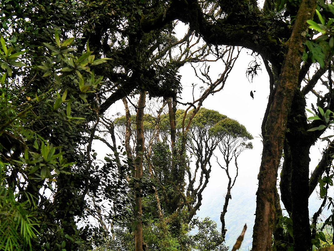 Wunderbare Aussichten hier und da in die Weite ... oder auf andere Bäume! Cameron Highlands, Malaysia (Foto Jörg Schwarz)