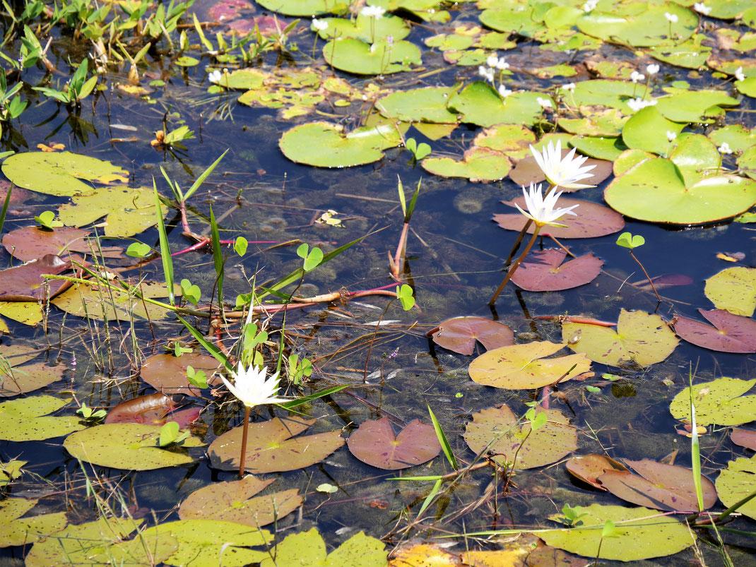 Wasserrosen... Neak Pean, Kambodscha (Foto Jörg Schwarz)
