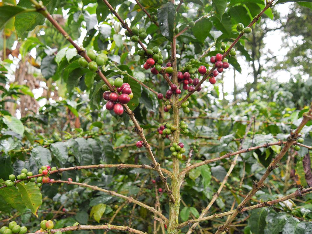 Natürlich muss man früher oder später auf eine der umliegenden Kaffeefarmen... Bei Filandia, Kolumbien (Foto Jörg Schwarz)