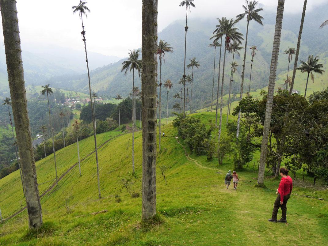 Bein Weg hinab ins Tal laufen wir durch einen Wald von Wachspalmen, den höchsten Palmen der Welt - beeindruckend! Valle de Cocora, Kolumbien (Foto Jörg Schwarz)