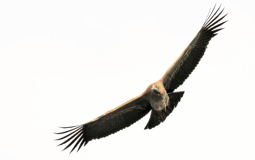 Atemberaubende Flügelspannweite - ein junger Andenkondor am Cruz del Condor, Peru (Foto Jörg Schwarz)