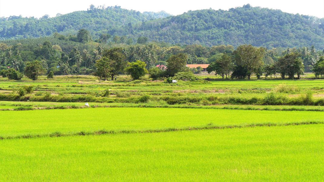 Die nach wie vor hier und da von Reisfeldern geprägte Landschaft Langkawis ist traumhaft schön, Langkawi, Malaysia (Foto Jörg Schwarz)