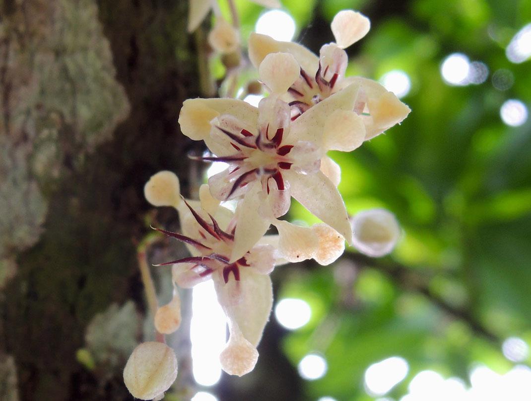 cacao pod frsh cacao fruit