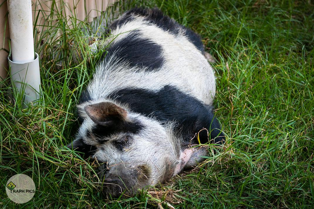 Neuseeland Schweinchen