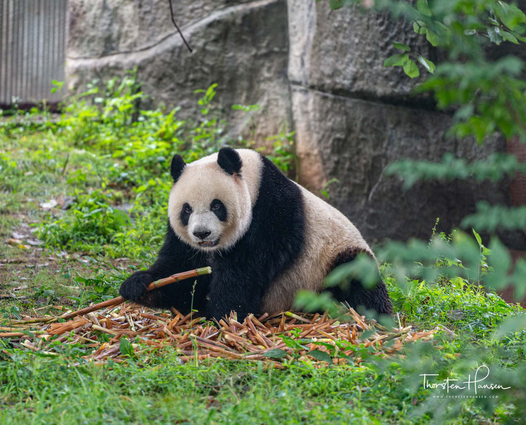 Meine Bären Erlebnisse in in aller Welt - Pandas, Chengdu - China, Kleiner Panda, Roter Panda Bärensafari in Taino auf Vancouver Island in Kanada https://www.jamies.com Grouse Mountains in Vancouver https://www.grousemountain.com Denali Nationalpark in Al