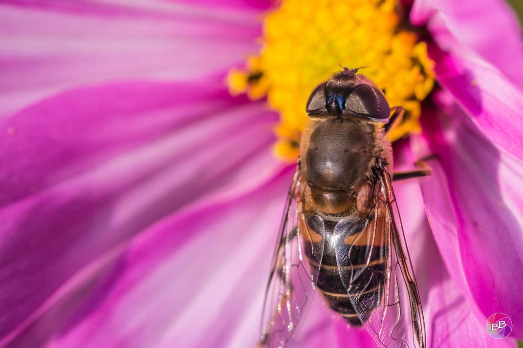 Cosmos bipinnatus oder auch Schmuckkörbchen - und darauf ein Insekt ;-)