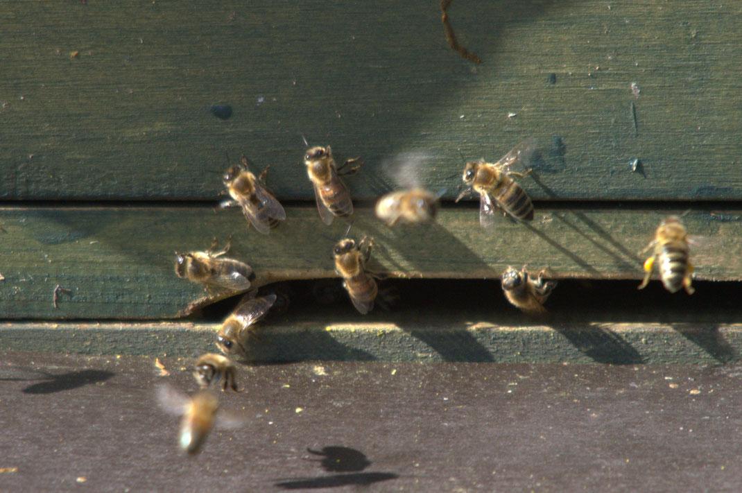 Bienen in Pagels Garten