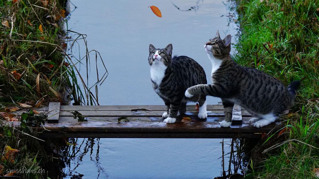 Katzen auf der Katzenbrücke in Balgach, Rheintal