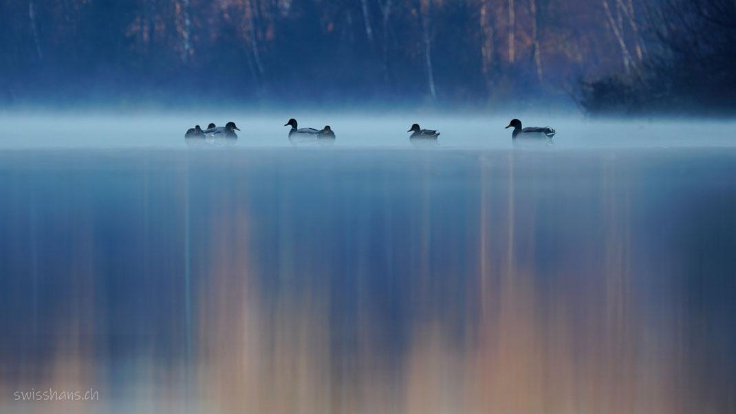 Enten im Alten Rhein bei Diepoldsau im Morgennebel