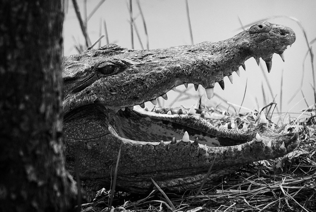 Crocodile, Krokodil, Martin Boelt Photography