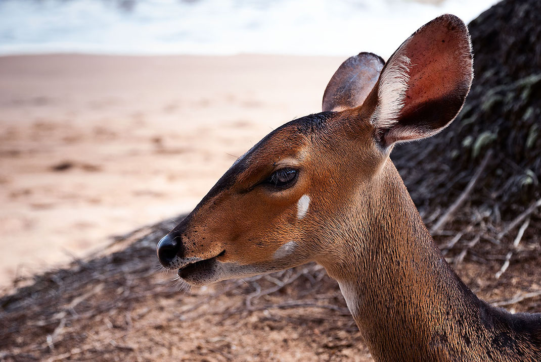 Deer, Reh, Ghana, Ancobra Beach, Martin Boelt Photography. Wildlife Photography.