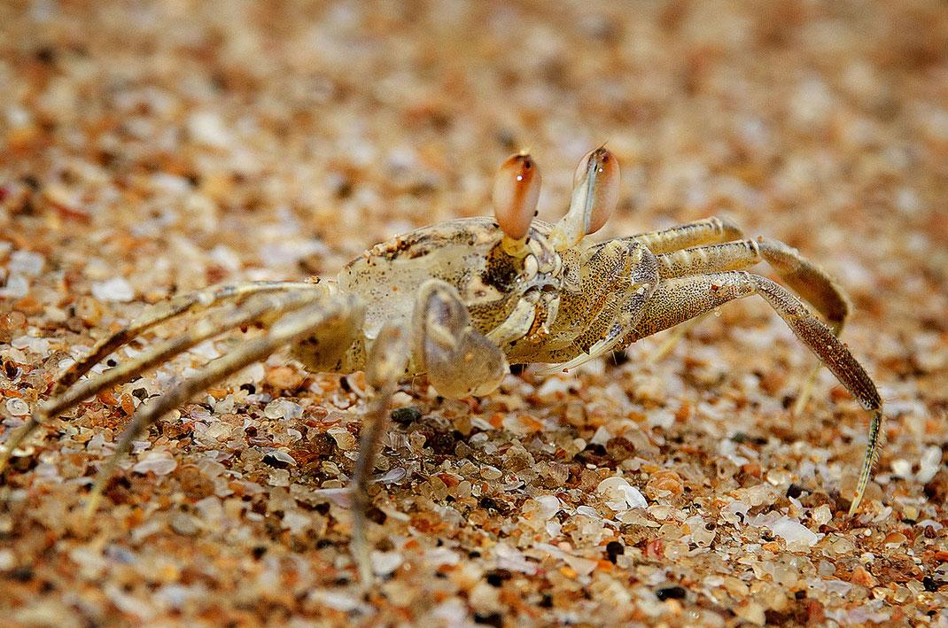 Ghost Crab, Geisterkrabbe, Ghana, Ancobra Beach, Martin Boelt Photography.