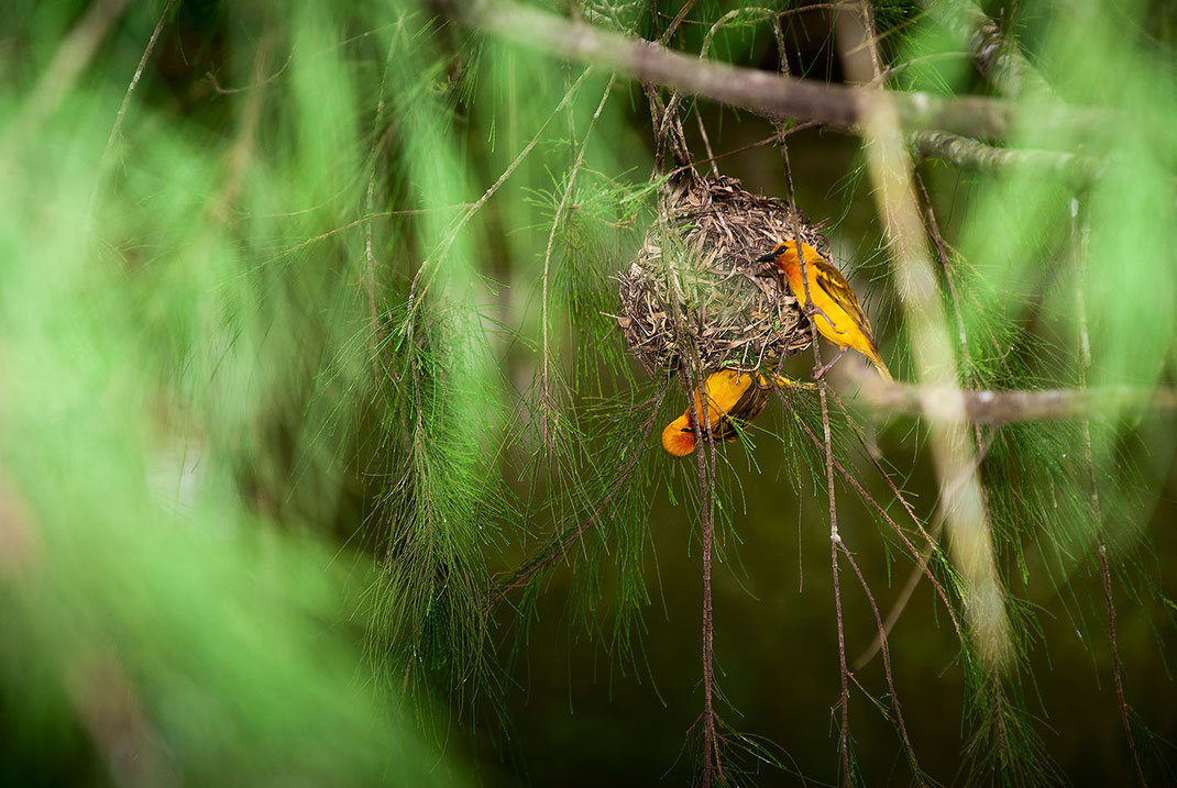 Weaver Bird, Webervogel, Kakum Nationalpark, Ghana, Martin Boelt Photography
