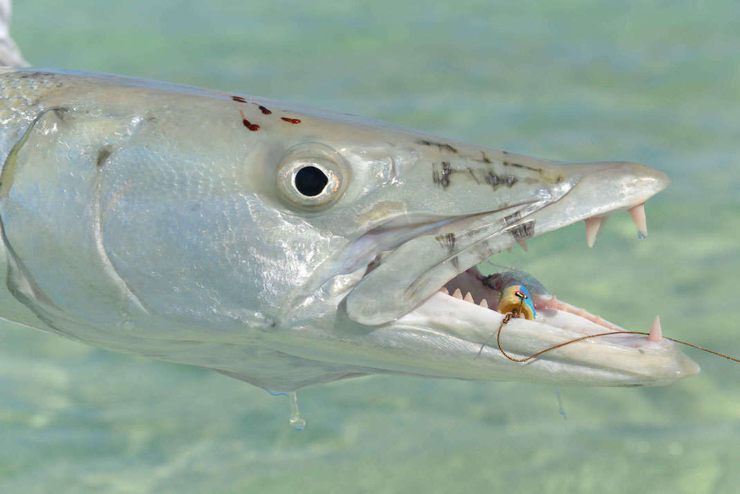 Fly fish Bahamas, FFTC.club saltwater destination, Crooked Island and Acklins, Barracuda on the popper, Fly fish saltwater adventure for bonefish, permit, triggerfish, sharks, jacks, barracuda.