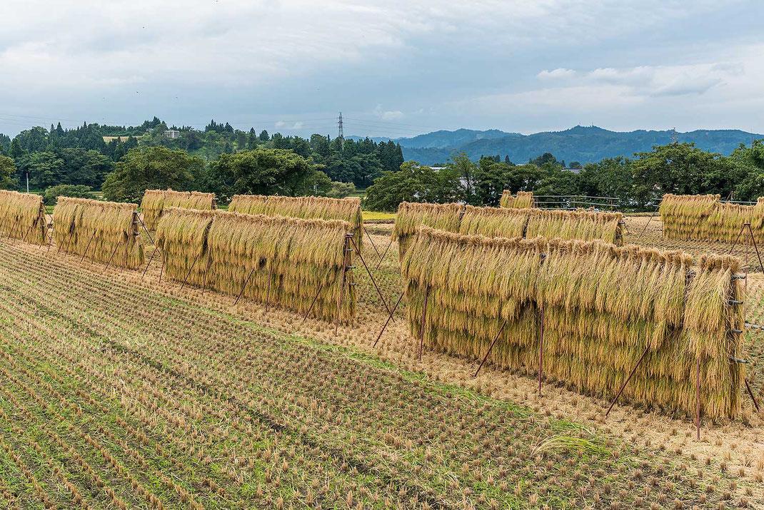 さくらや農園のはざ掛け米