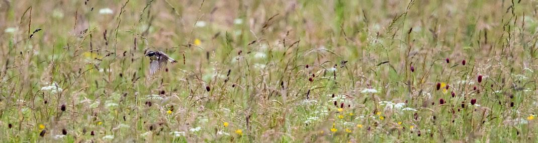 Braunkehlchen im Loisach-Kochelsee-Moor, Foto: Bettina Kelm