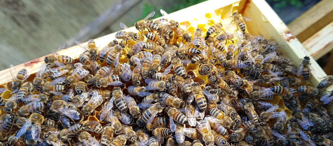 Bienenvolk auf dem Natur und Imkerhof Zingst
