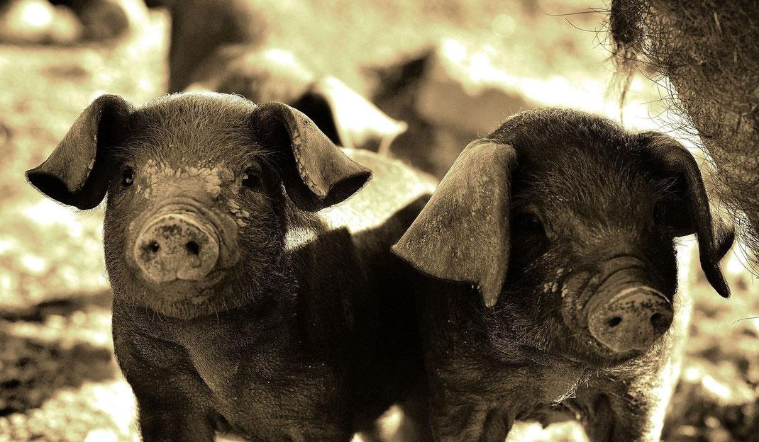 Schwarzes Schwein,Porco Preto,Martins Kulinarium,Mobile Kochschule,Carvoeiro,Algarve,Portugal