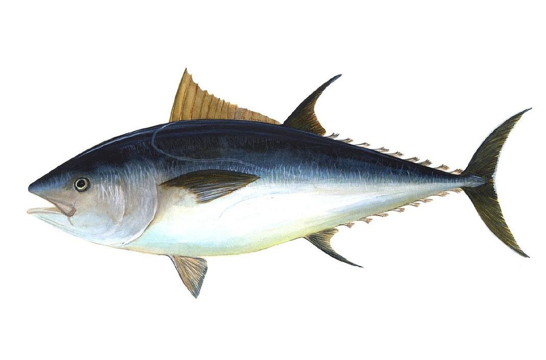 Thunfisch,Atum,Tuner,Fisch,Martins Kulinarium,Carvoeiro,Algarve,Portugal,Mobile Kochschule