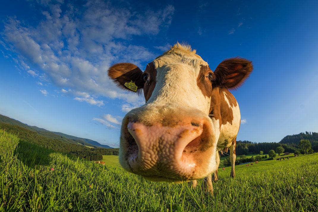 Rind oder Ochse,Vaca,Martins Kulinarium,Carvoeiro,Algarve,Portugal,Mobile Kochschule