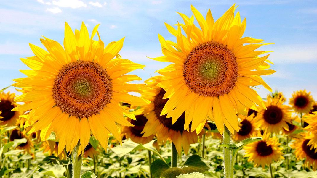 Sonnenblumen Öl und Kerne,Martins Kulinarium,Carvoeiro,Algarve,Portugal,Mobile Kochschule