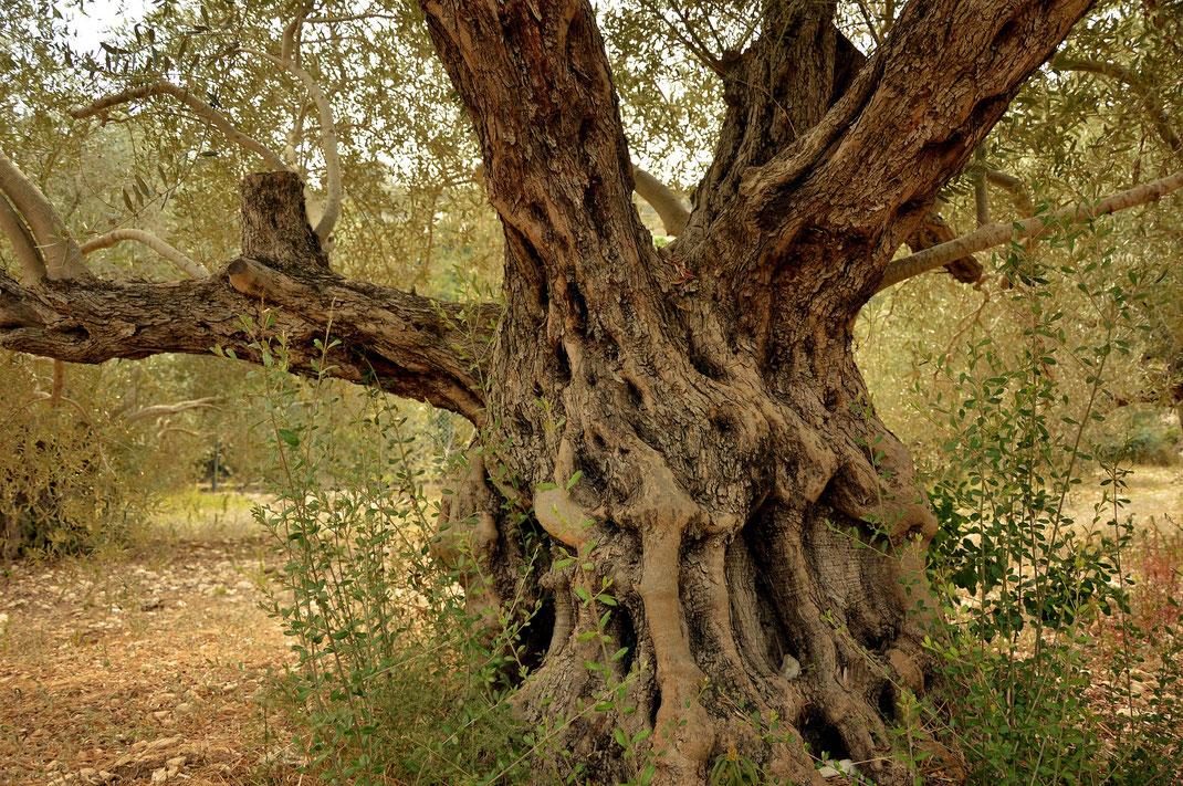 Olivenbaum,Oliveira,Martins Kulinarium,Carvoeiro,Algarve,Portugal,Mobile Kochschule
