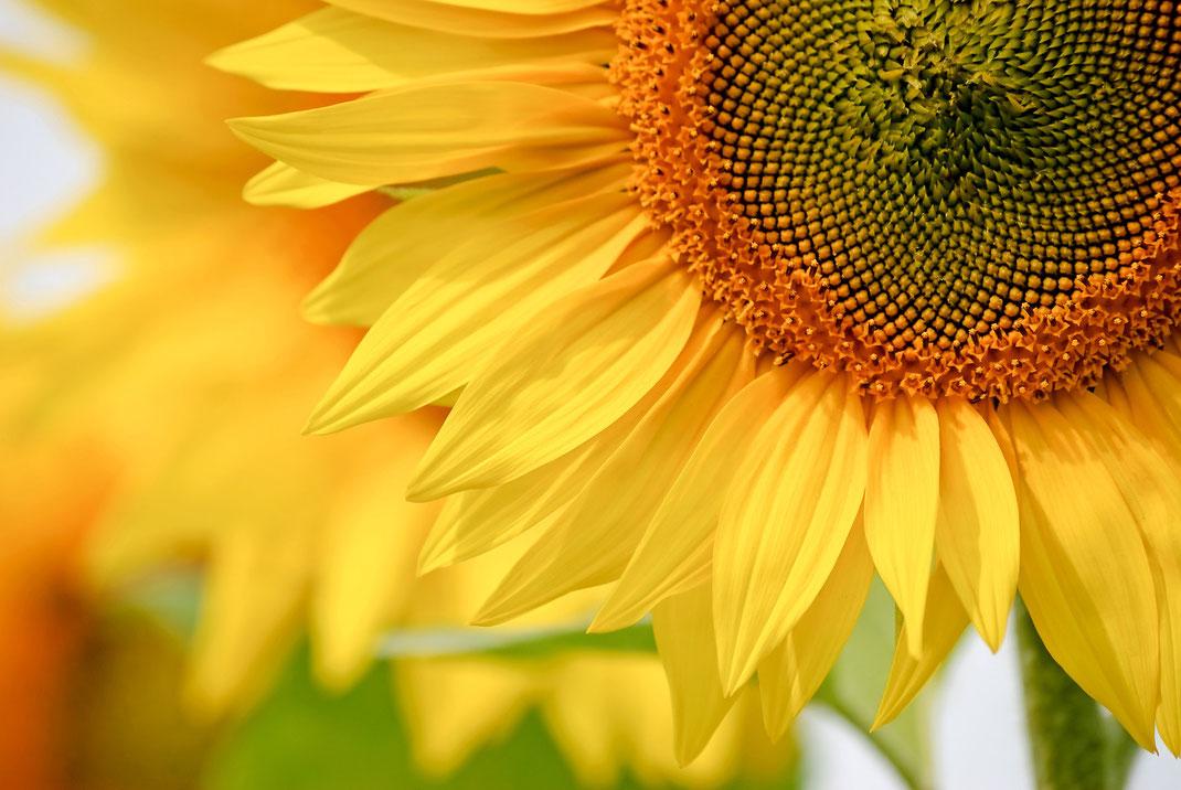 Sonnenblumenöl,Sonnenblumenkerne,Sonnenblumen,Martins Kulinarium,Carvoeiro,Algarve,Portugal,Mobile Kochschule