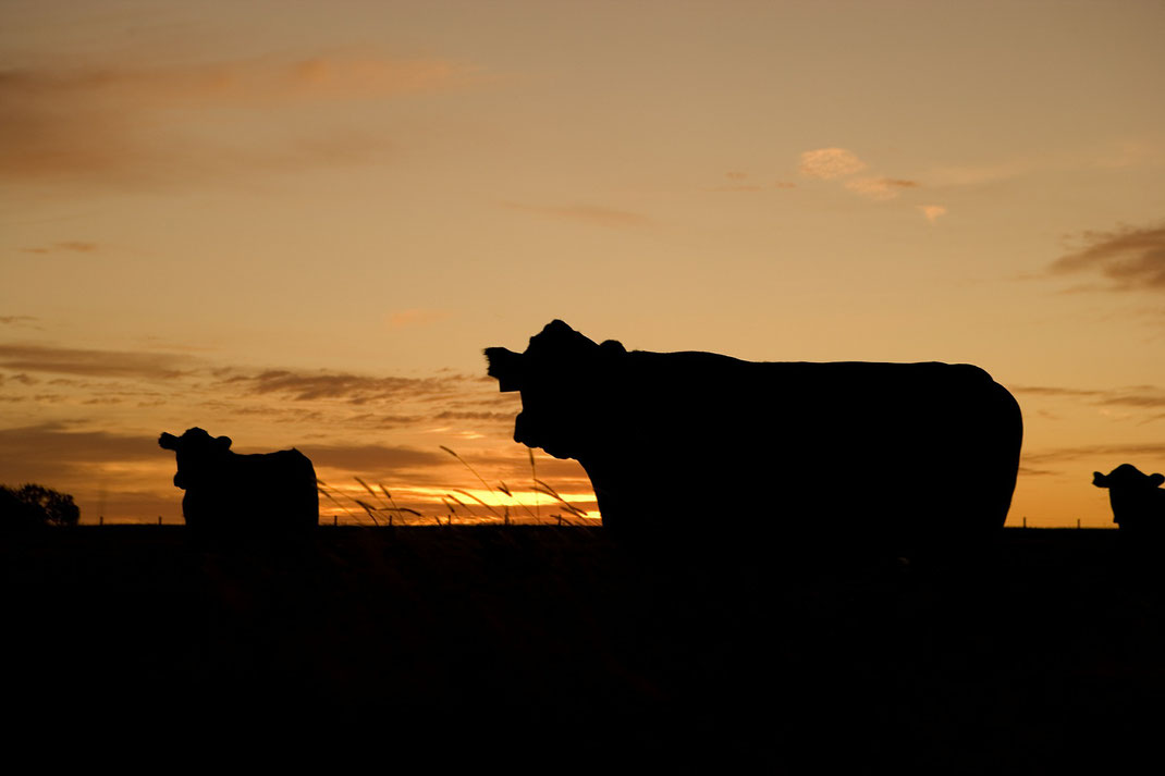 Rinder und Kühe,Martins Kulinarium,Carvoeiro,Algarve,Portugal,Mobile Kochschule