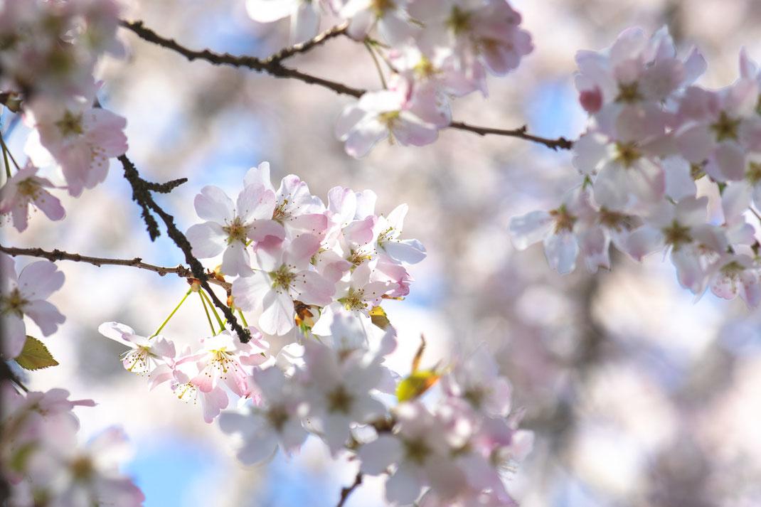 Kirchblüte Keukenhof Virginie varon