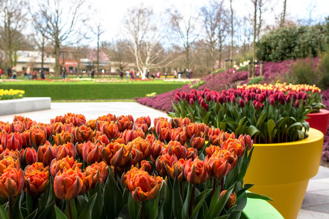 Tulpen Tulip Keukenhof Holland Virginie Varon