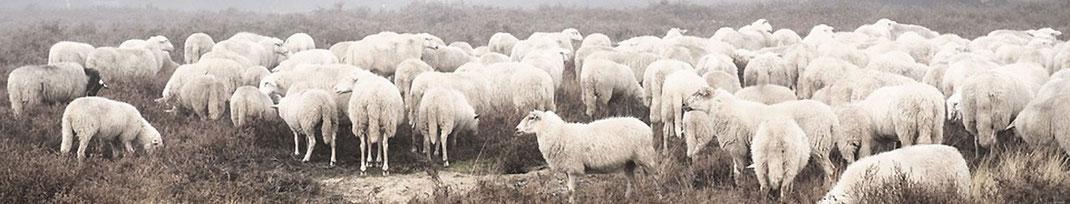 Wolle von Englischen Schafen in Matratzen verarbeitet.