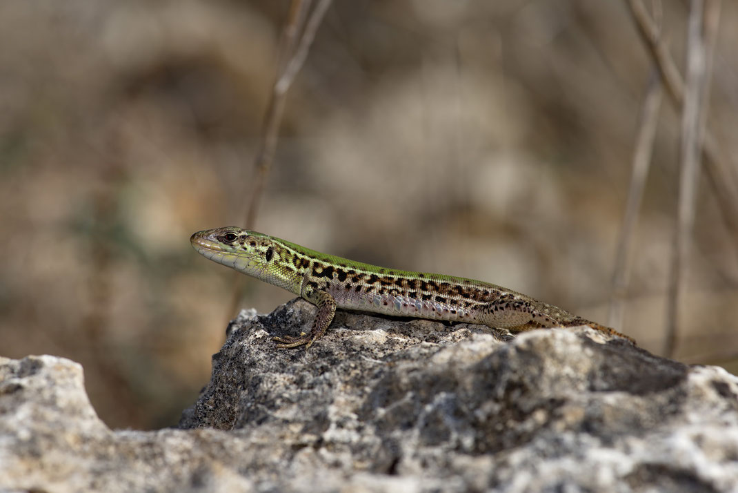 Ionische Mauereidechse (Podarcis ionicus), Weibchen