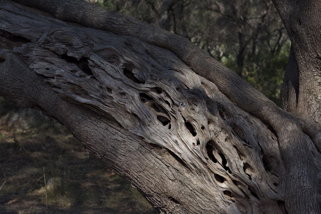 Stamm eines alten Olivenbaums