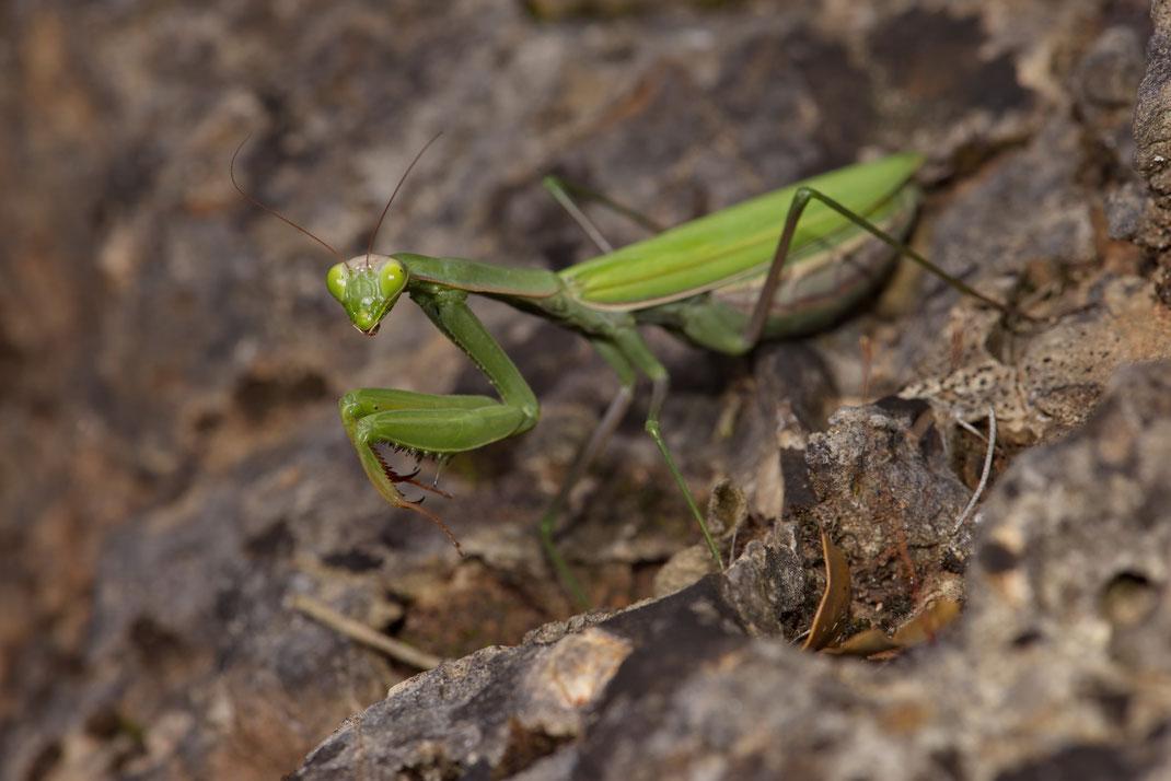 Weibliche Gottesanbeterin (Mantis religiosa)