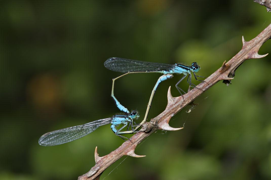 Paarungsrad der grossen Pechlibelle (Ischnura elegans)