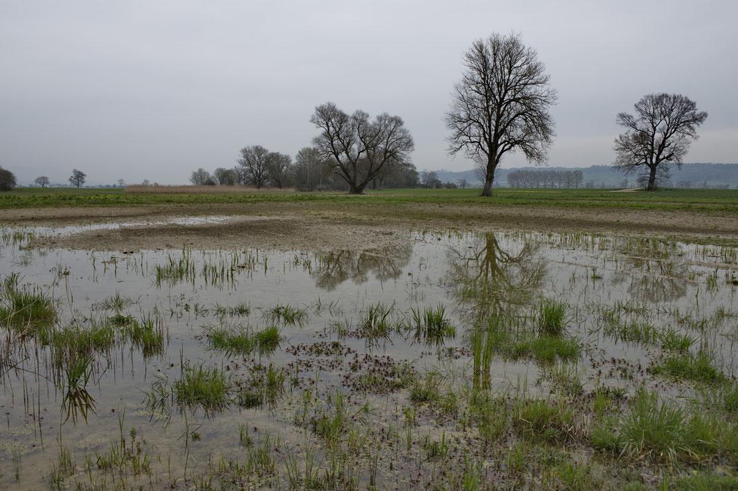 Neu angelegtes Temporärgewässer für Pionierarten wie Kreuzkröte, Laubfrosch und Gelbbauchunke im Kanton Solothurn