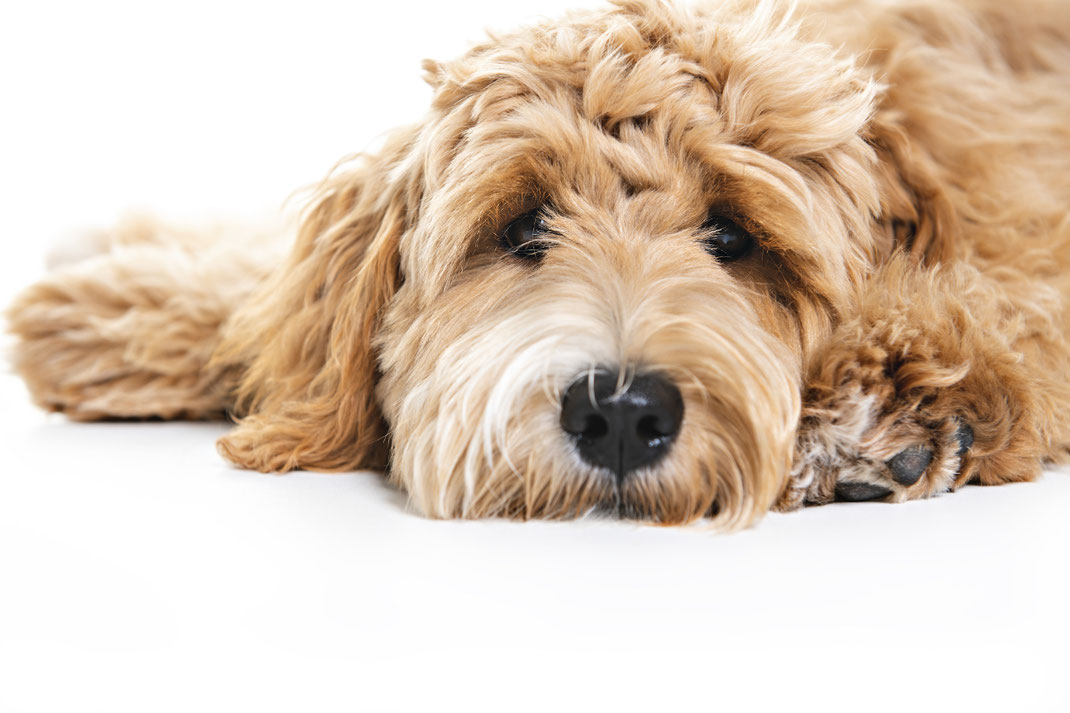 Positive Gesundheitsaspekte von Bürohunden auf das Unternehmen. Du möchtest Bürohunde in deiner Unternehmenskultur etablieren? Mein Blog hilft dir mit Informationen. Du kannst mich jederzeit kontaktieren. #myofficedog2021