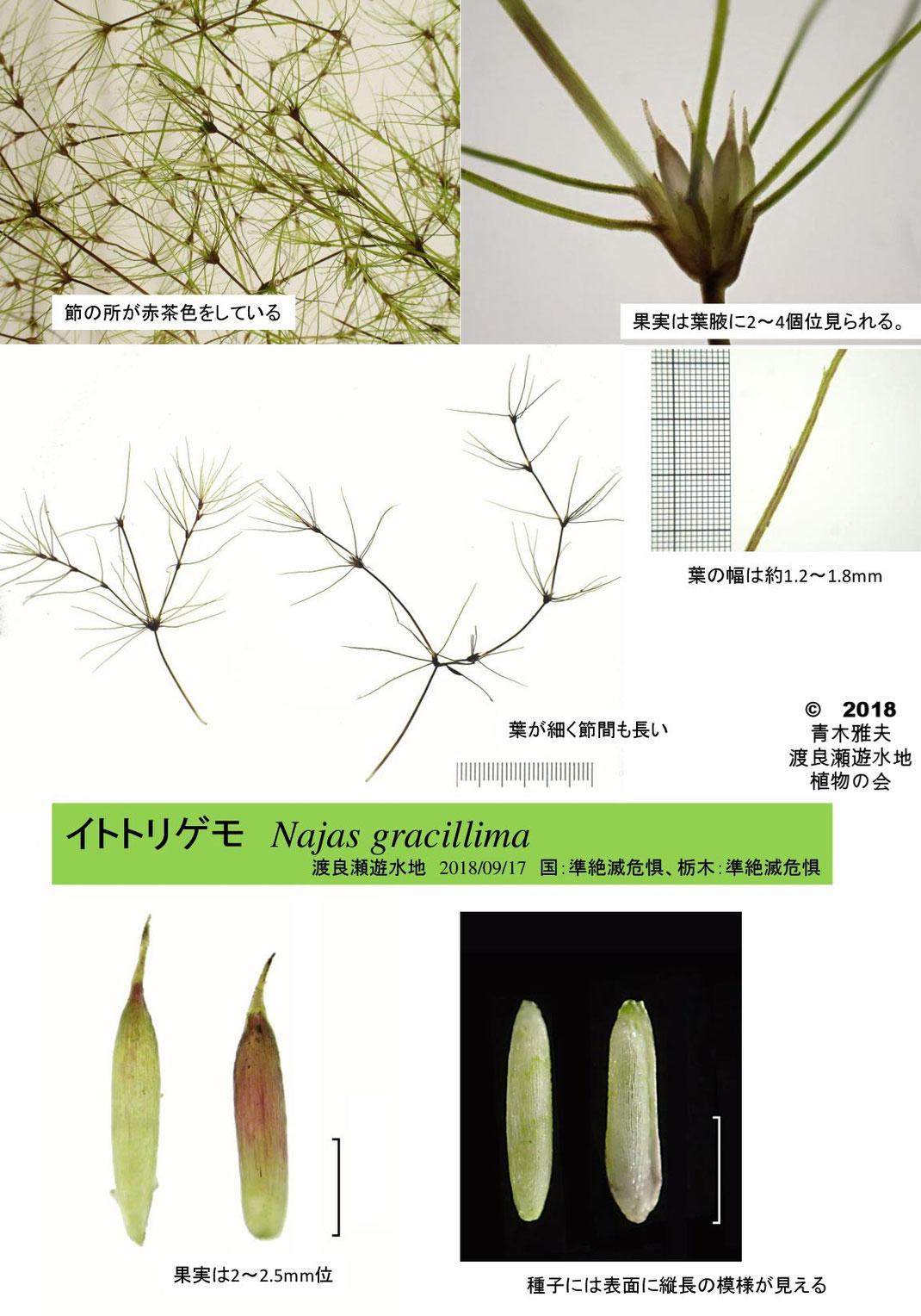 渡良瀬遊水地に生育するイトトリゲモの全体画像と説明文書