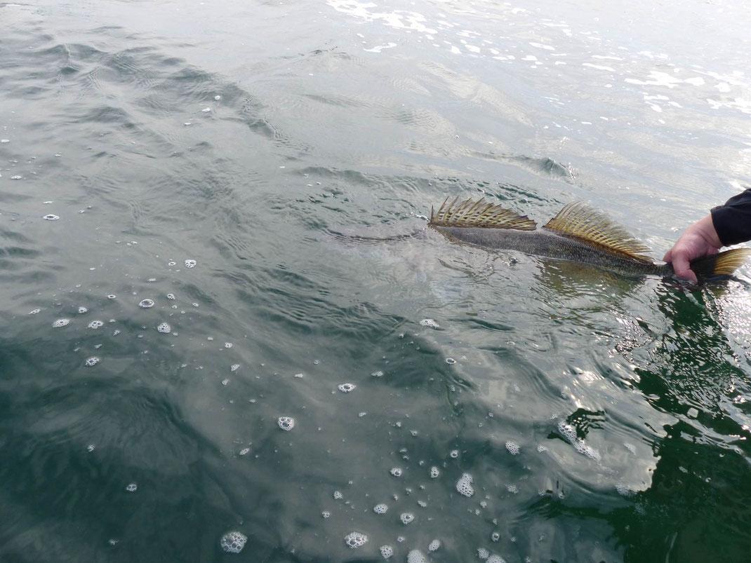 Zander Catch&Release am Schweriner See