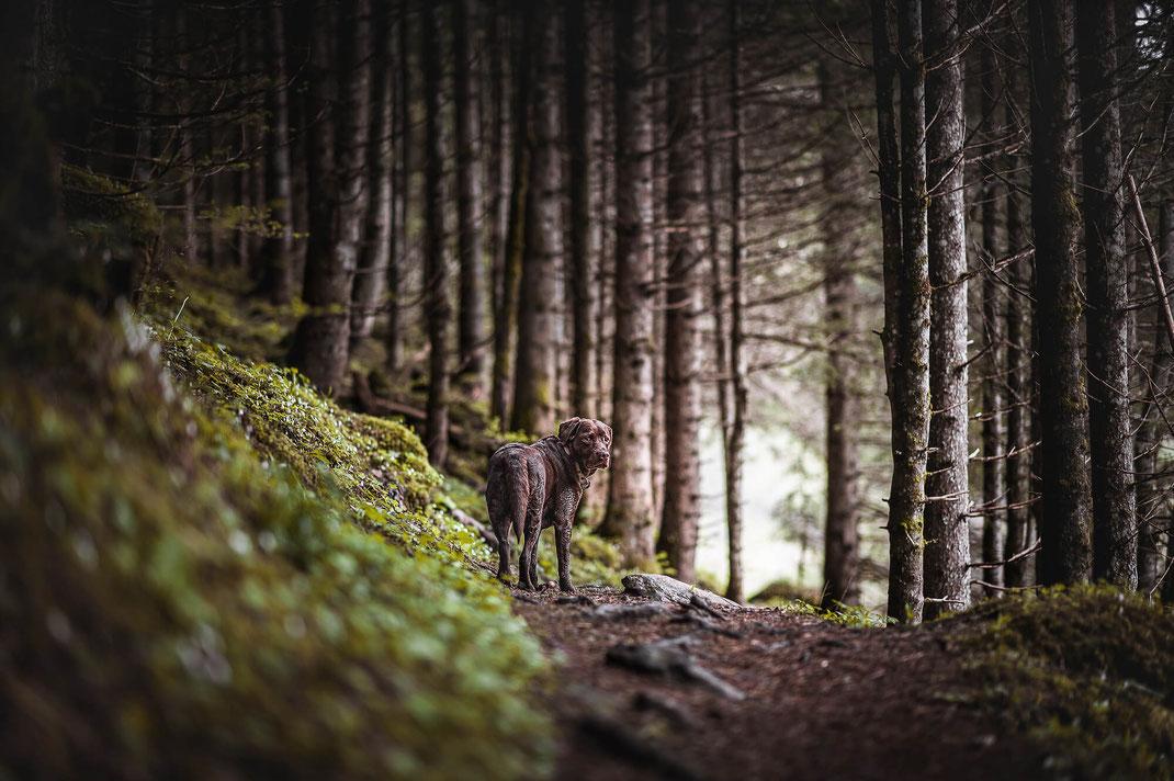 Brauner Labrador schaut über die Schulter im mystischen Wald festgehalten von der Hunde Fotografin Monkeyjolie in Graubünden