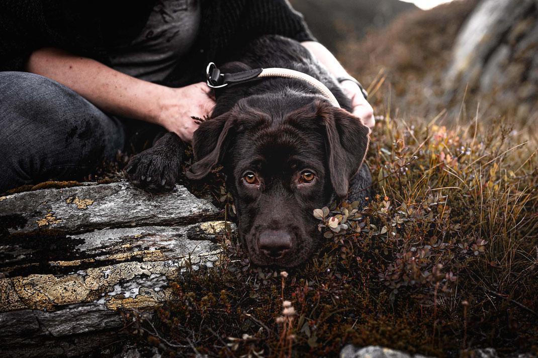 Schoko Labrador liegt mit dem Kopf auf einem Fels fotografiert von der Ostschweizer Hunde Fotografin Monkeyjolie