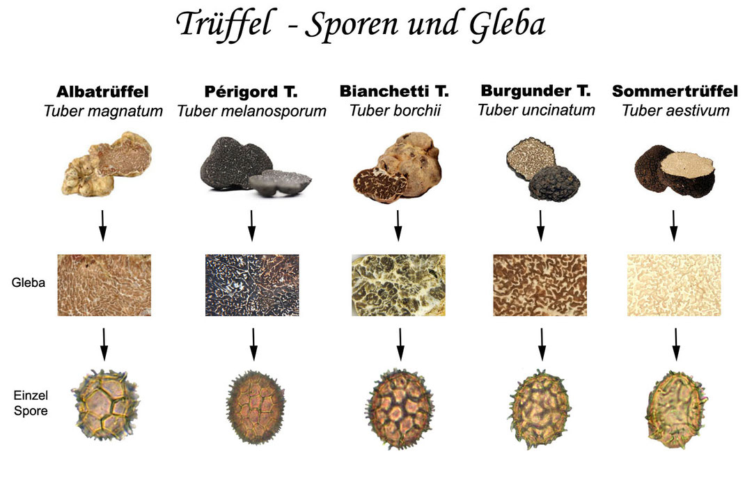Die wichtigsten Speisetrüffel mit ihrer Trüffelspore und Trüffelgleba